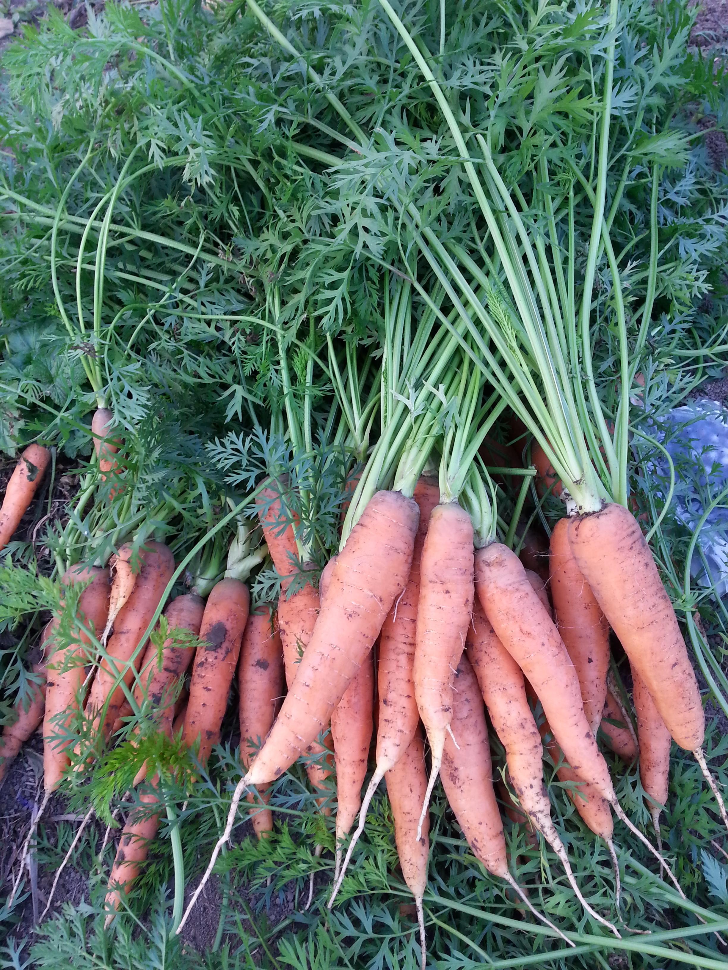 carrots, golbys.jpg