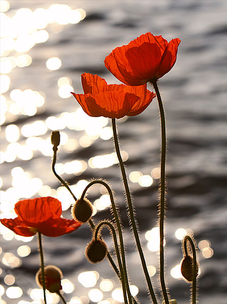 447px-Poppies_in_the_Sunset_on_Lake_Geneva.jpg