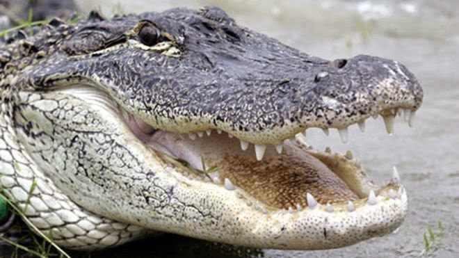 _Alligator.jpg