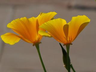 798px-Yellow_Poppy.jpg