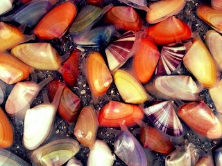 coquina-clams.jpg