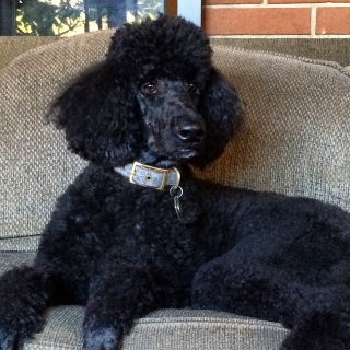 Genevieve the Poodle