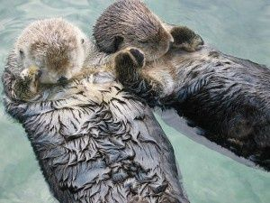 otters holding hands from wildlife2.tumblr.com