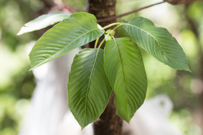 Kratom leaves (iStock)