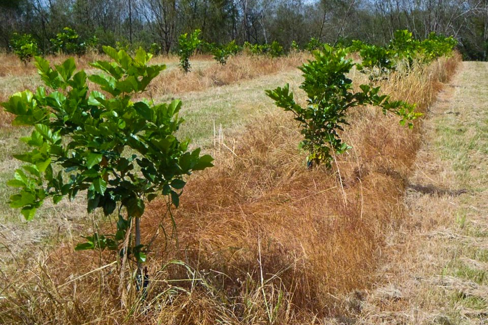 Pongamia orchard in Florida at 7 months with no irrigation.
