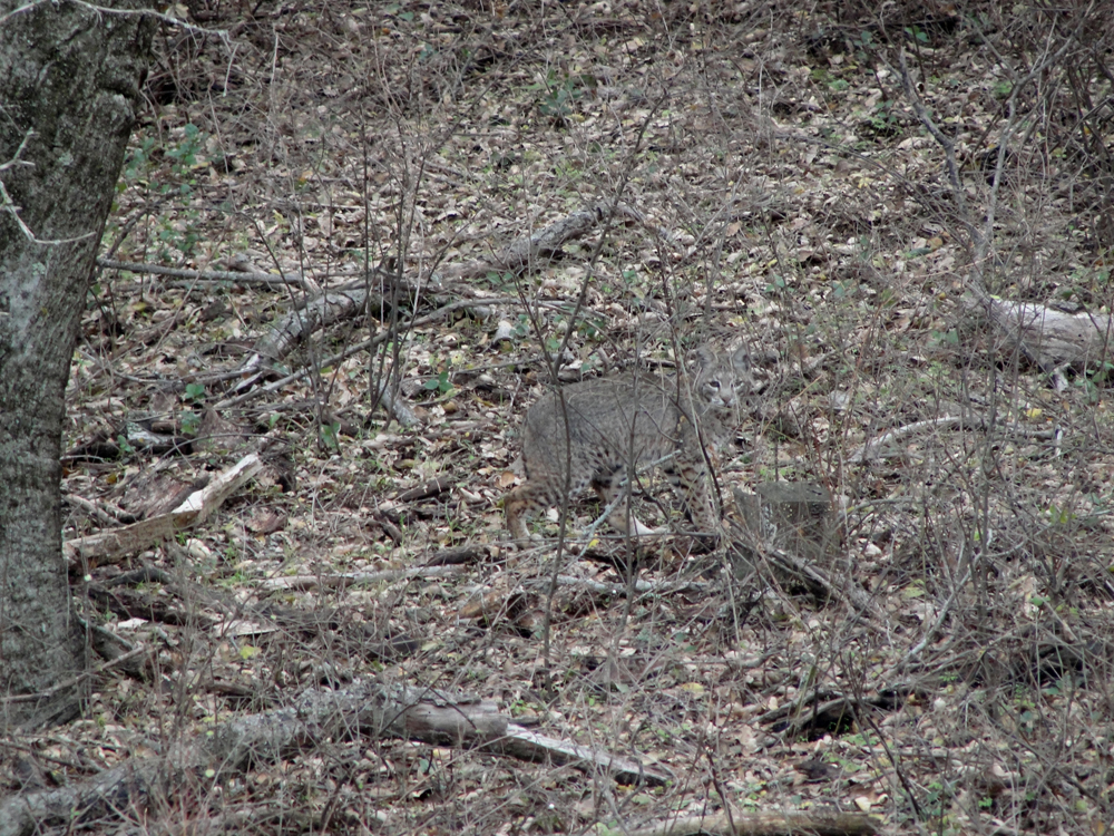 Can you find the bobcat in this photo?    Click to enlarge.