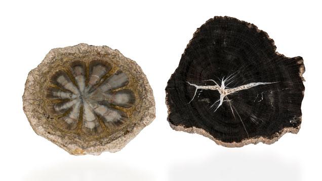 Petrified pinecone and wood, Argentina and Utah. (Photo: Orasa Weldon, © GIA)
