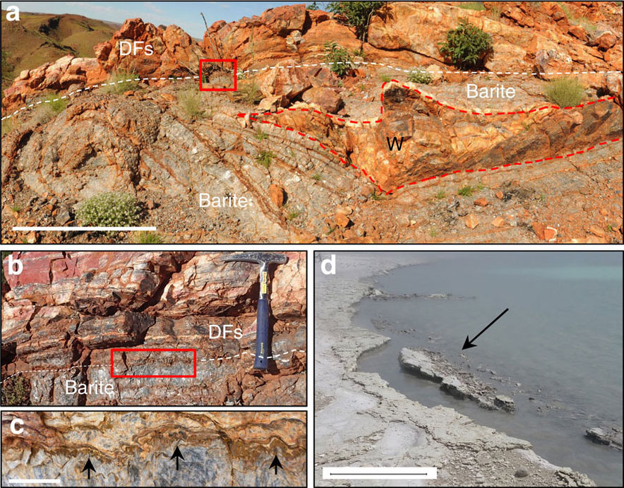 Scale bar measurements indicated. ( a ) Strongly curving isopachous barite veins envelop a chert wedge (W), overlain by sedimentary units (DFs). Scale bar, 1 m. Inset box of ( b ) isopachous layered barite underlies DFs that include stratiform geyserite. Inset box of ( c ) barite crystal tops growing upward into DFs (arrows). Scale bar, 2 cm. ( d ) Modern collapsing hot spring-pool lip edge, shoreline of Lake Rotokawa, Rotokawa geothermal area, New Zealand. Scale bar, 0.5 m.