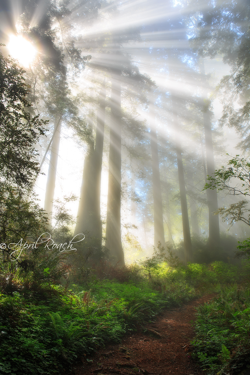 Light beams along the trail in the Del Norte Redwoods