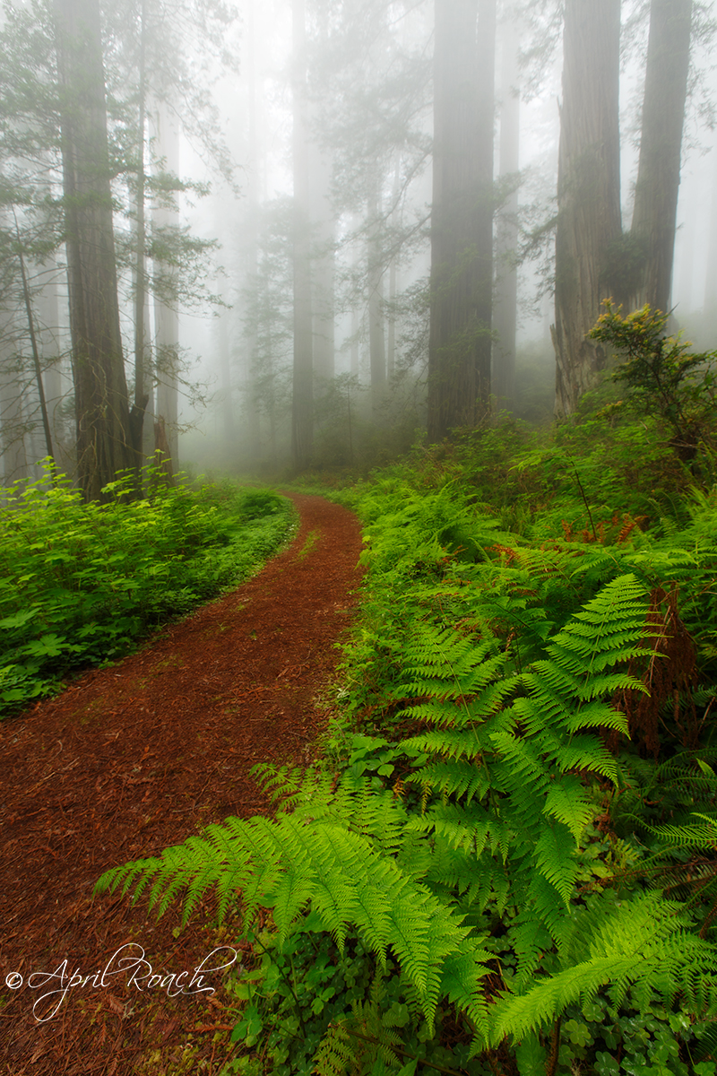Lush ferns line the trail in the Del Norte Redwoods