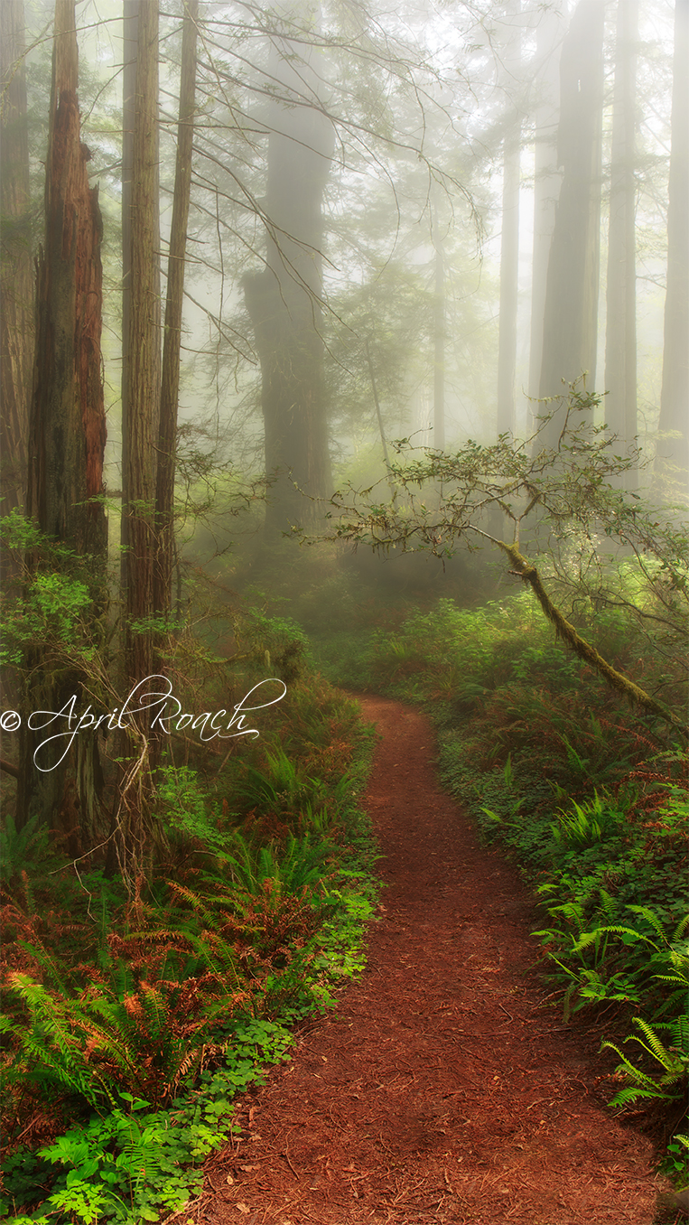 Magical path along the Damnation Trail in the Del Norte Redwoods