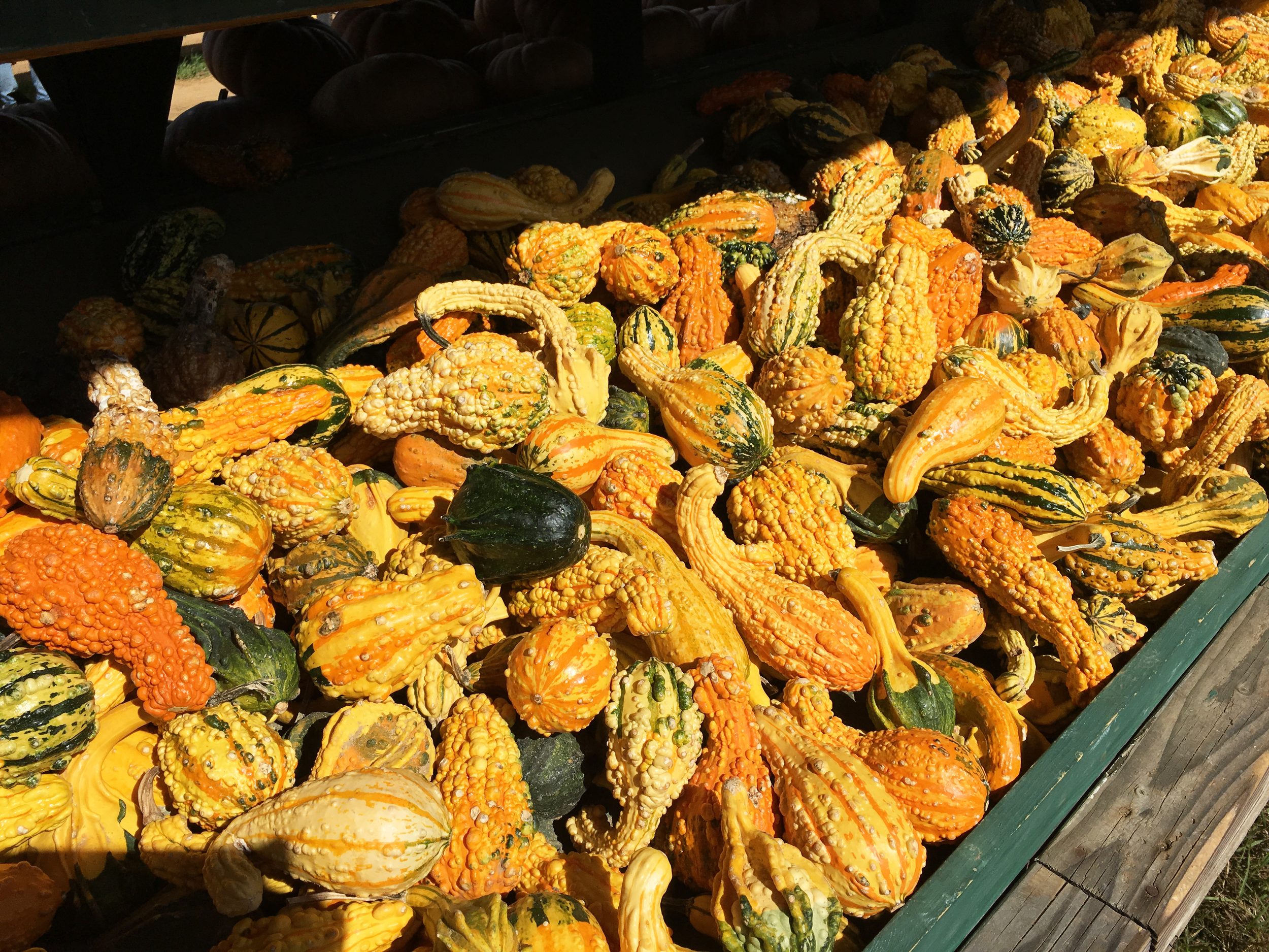 Sam-C-Perry-Lifestyle-PUMPKIN-PICKING-Eastmount-Orchards-Gourd.jpg
