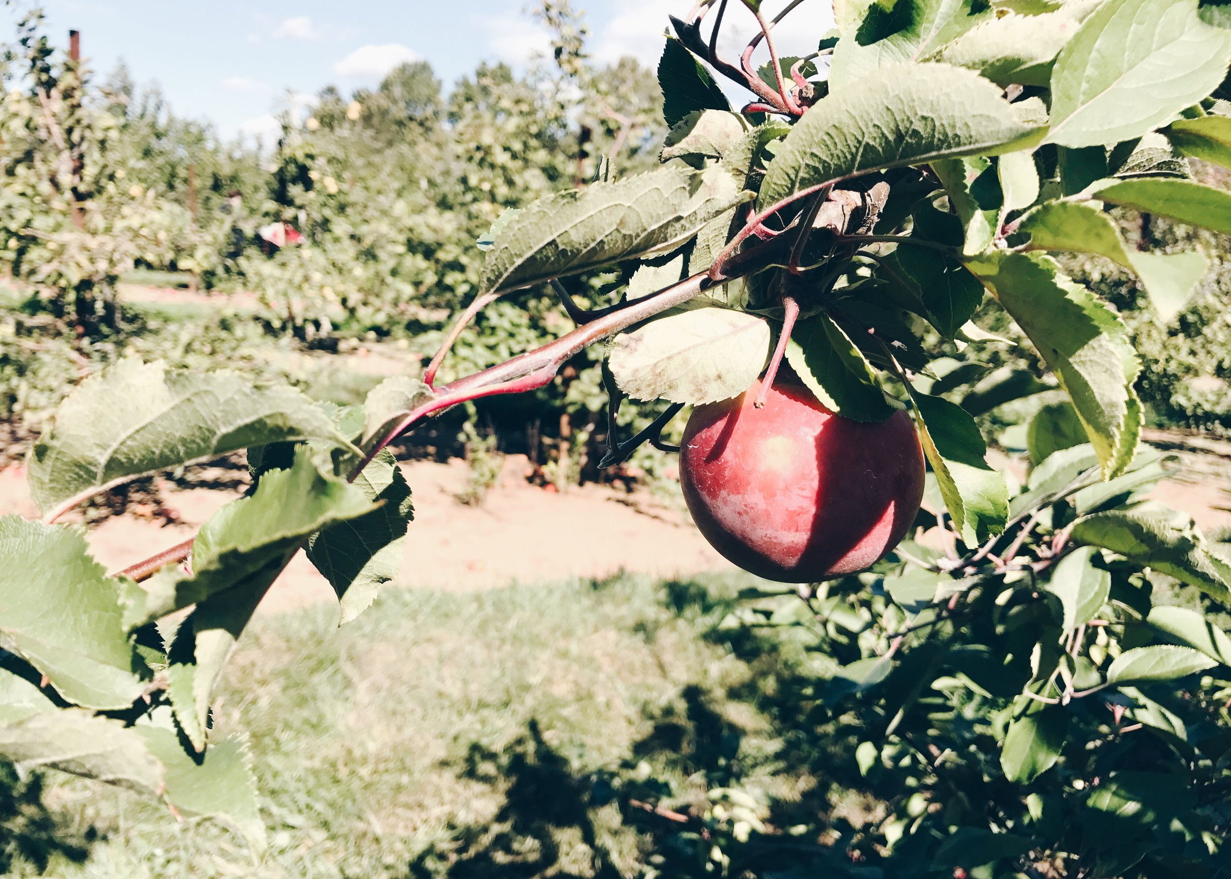 sam-c-perry-apple-and-pumpkin-picking-delicious-orchards-apple-tart-apple.jpg