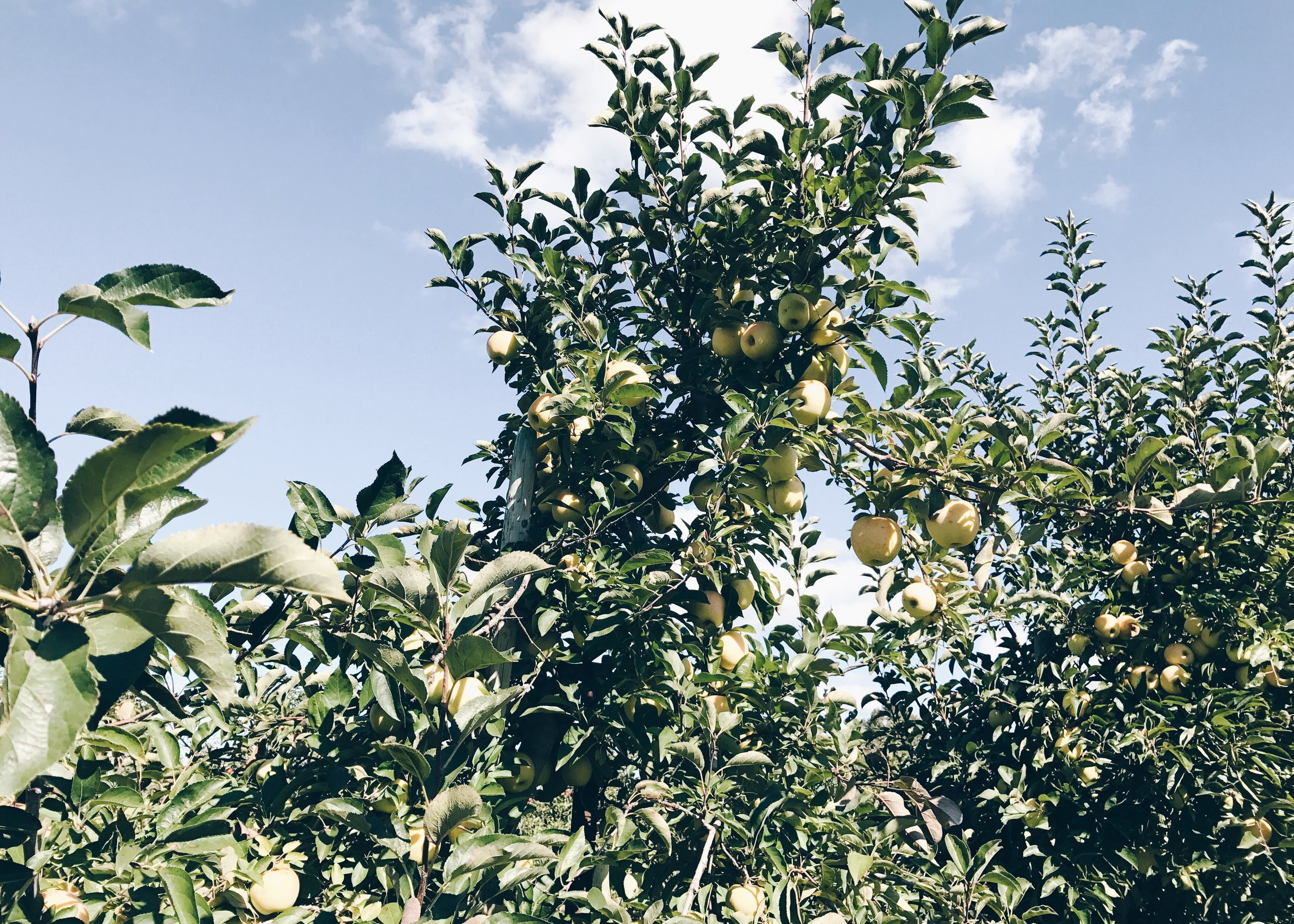 sam-c-perry-apple-and-pumpkin-picking-delicious-orchards-apple-tart-apple-tree.jpg