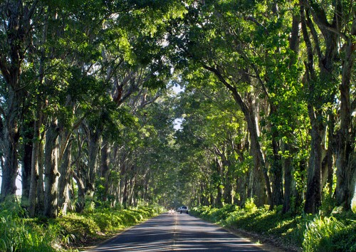 Rosebank Road - A beautifully tranquil tree tunnel road to drive along.