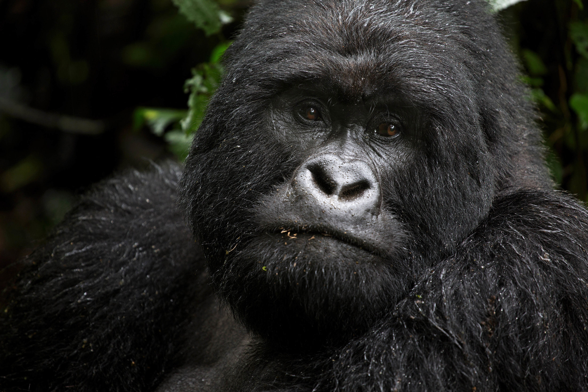 virunga_gorilla_57axvweb.jpg