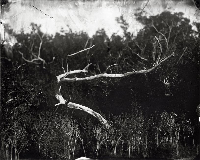 Buttonwood Tree, 2010