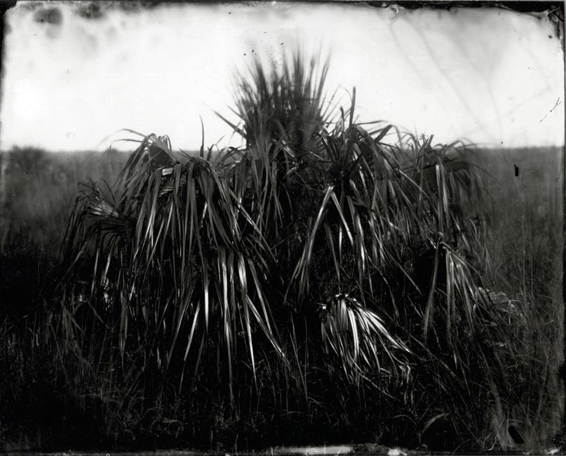 Palm in Sawgrass, 2010