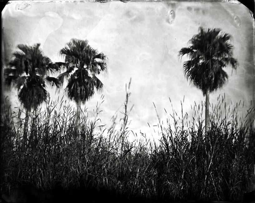 Three Cabbage Palms, 2010