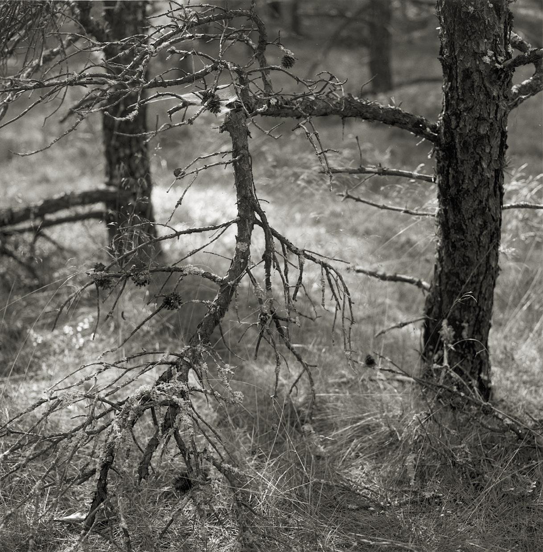 Pine Woods #32,