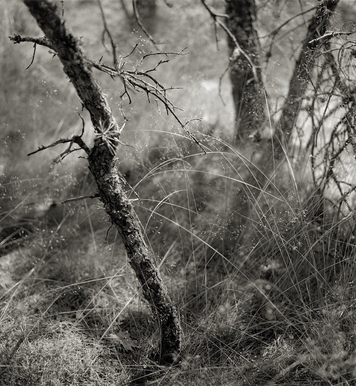 Pine Woods #44,