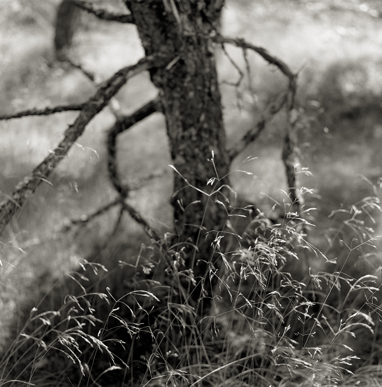 Pine Woods #50,