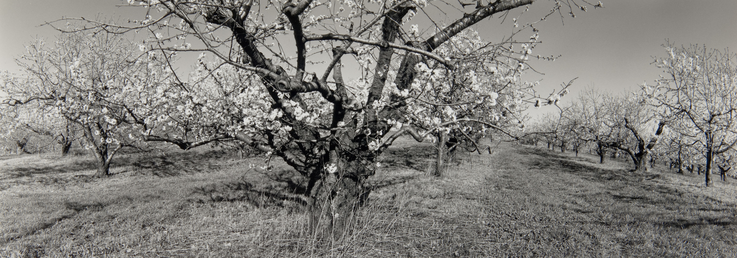 E. Lindbloom, Apple Orchard, Milton, 1998, gelatin silver print.jpg