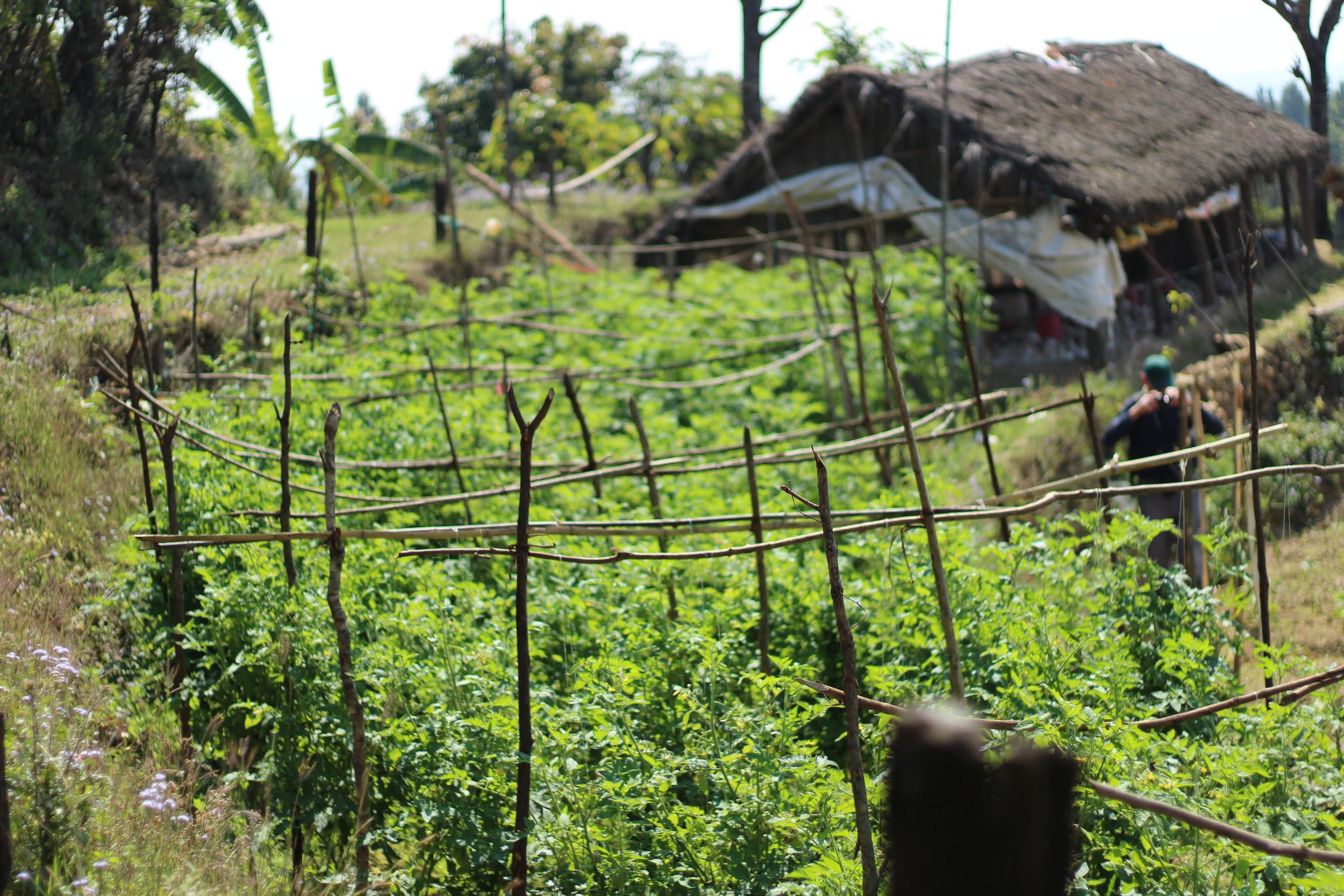 A flourishing tomato crop in Dhabaha VDC