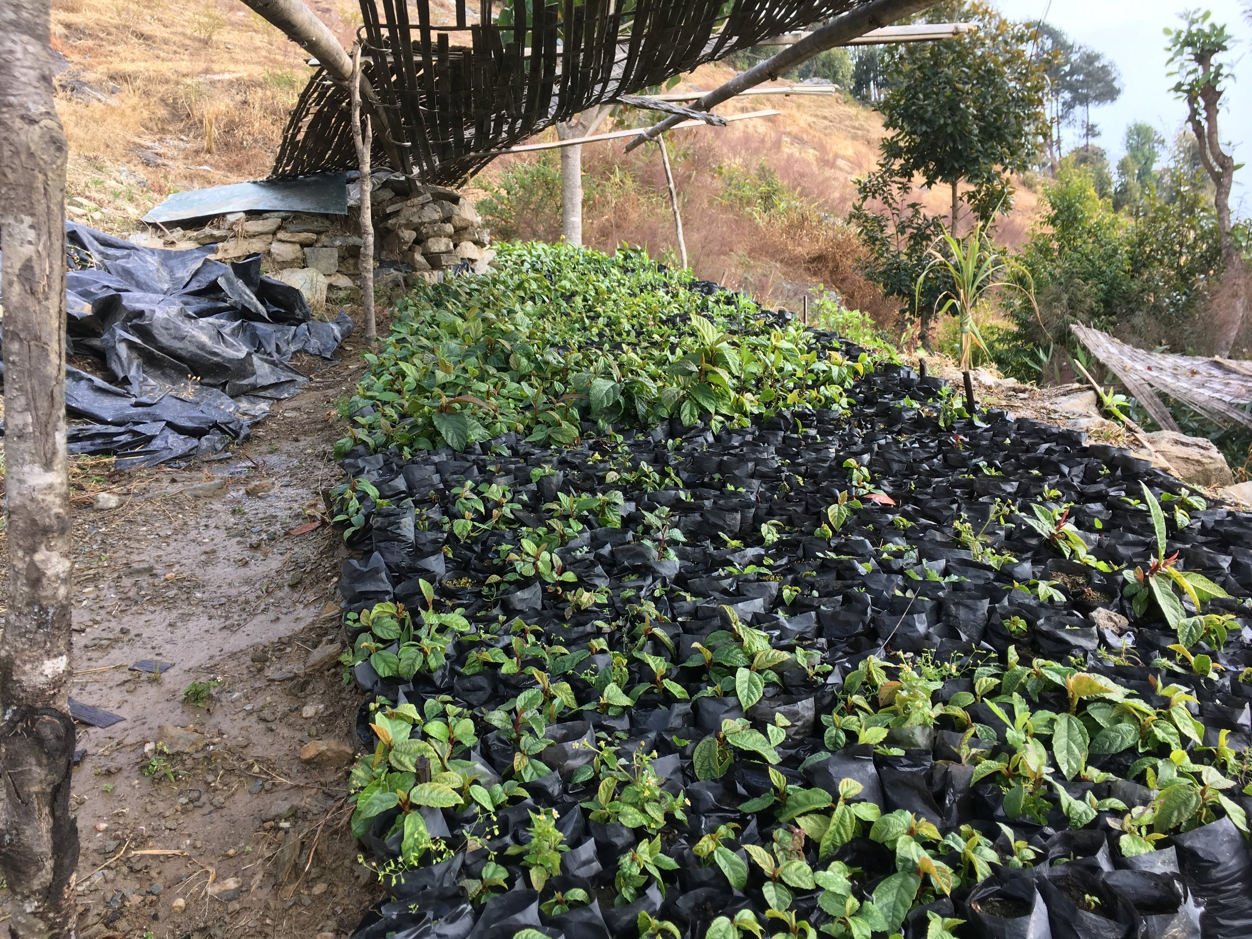 Seedlings grow at Deusa AFRC demonstration nursery. (February 2017)