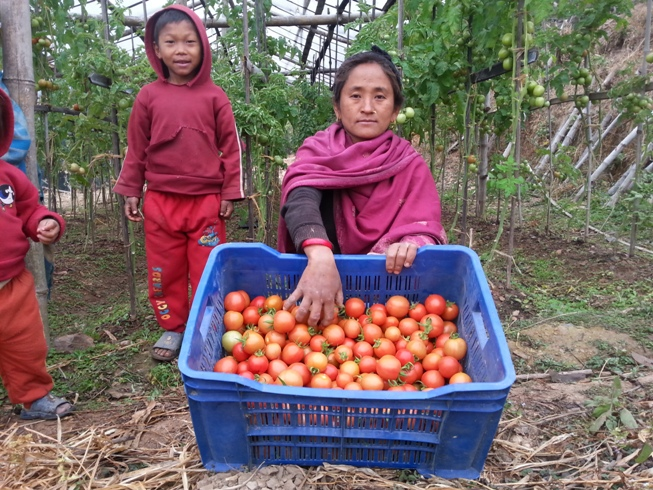Mrs Gopiram Rajali prepares her tomato crop for transportation to market.