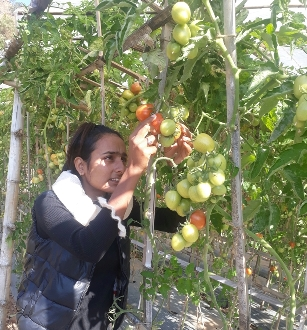 Apprentice agricultural technician monitors tomato crop in Durlunga.