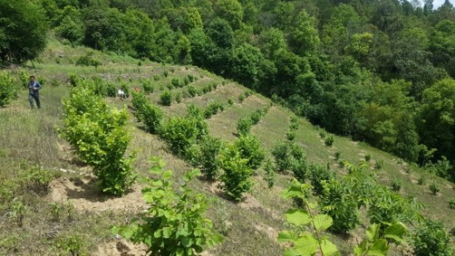 Mature and well kept Hazelnut orchard in Bhutan
