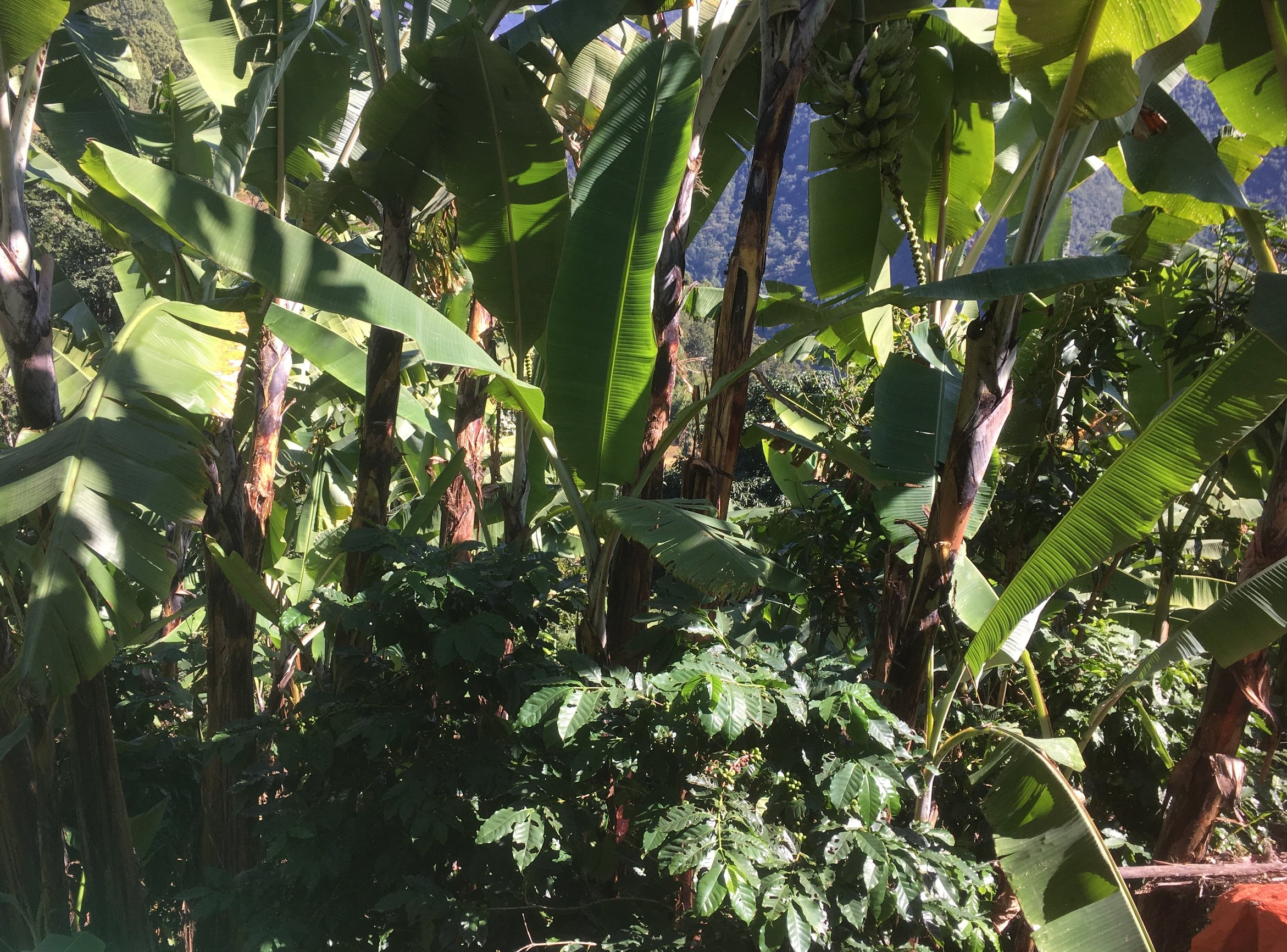 Farmers in Deusa learn to 'inter-crop' their coffee trees with other fruit and nut bearing trees. This provides the shade coffee trees need and also prevents unsustainable mono-cultures from developing. Here you can see coffee growing in the shade of large banana trees.