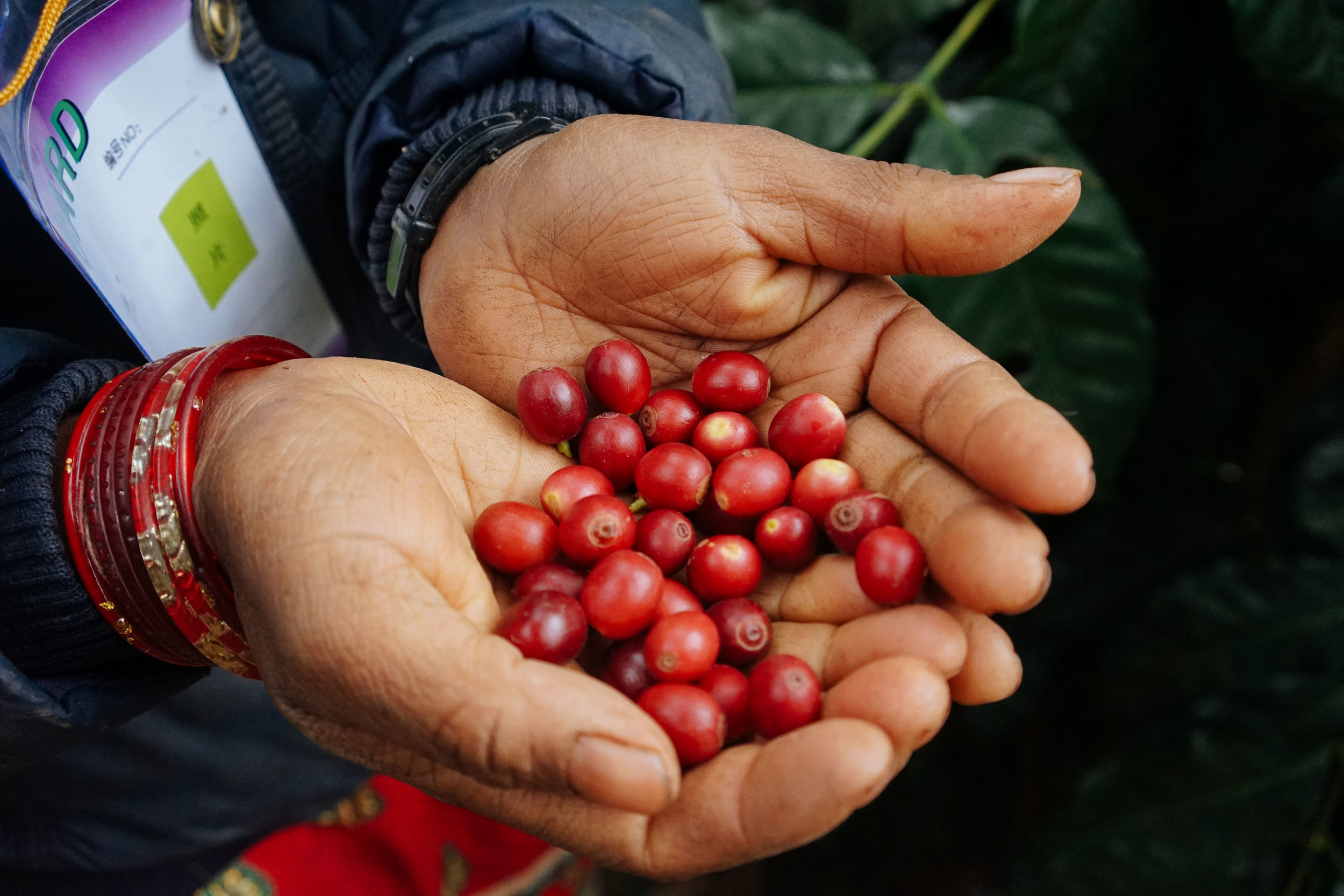 Juicy red coffee cherries, picked and ready for pulping.