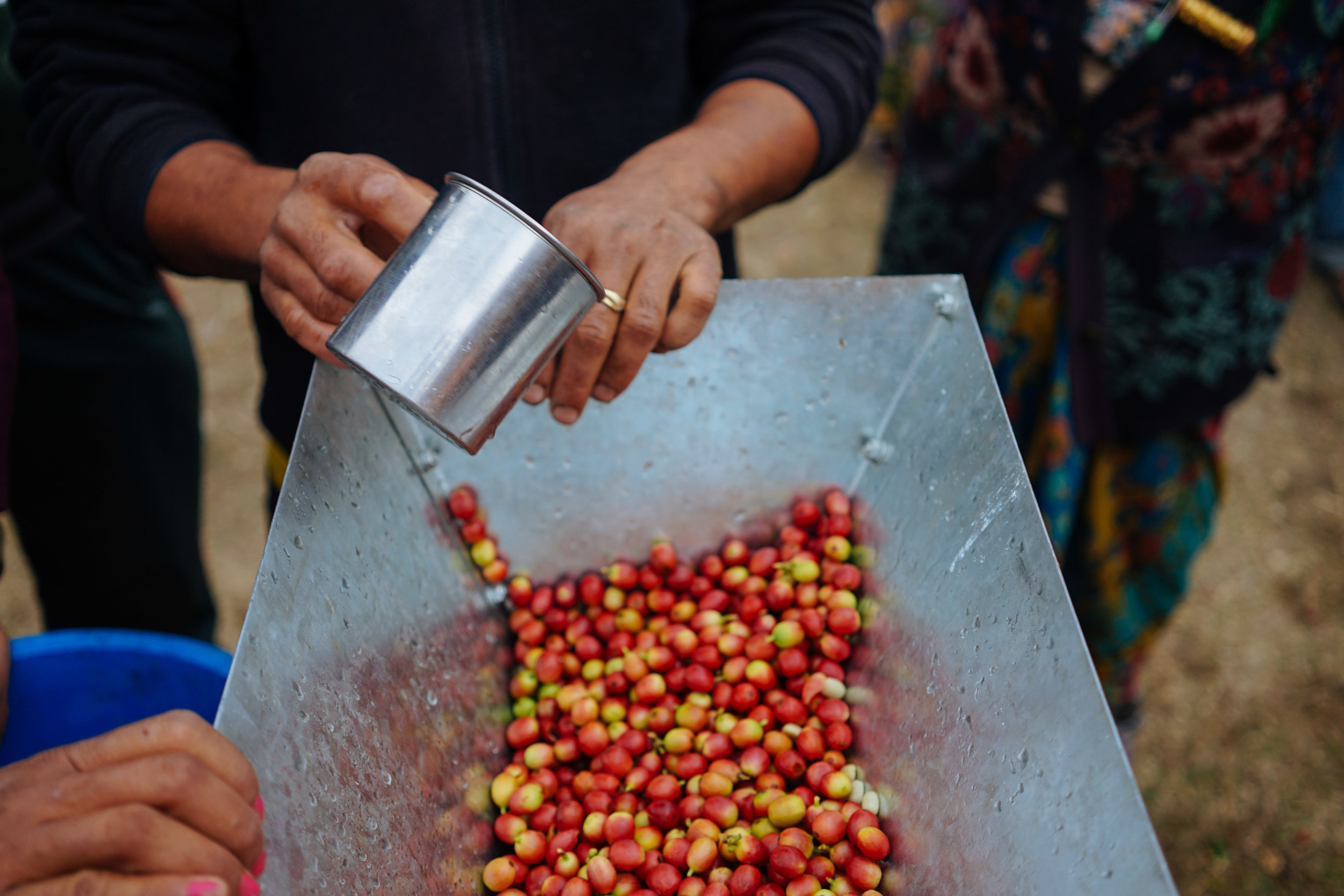 Coffee cherries are fed into a hand-turned pulping machine which removes the fleshy red cherry from the all important bean. TGT has funded six pulping machines for Solukhumbu so far. The addition of this basic technology has been transformative as it means farmers no longer have to pulp their coffee by hand.