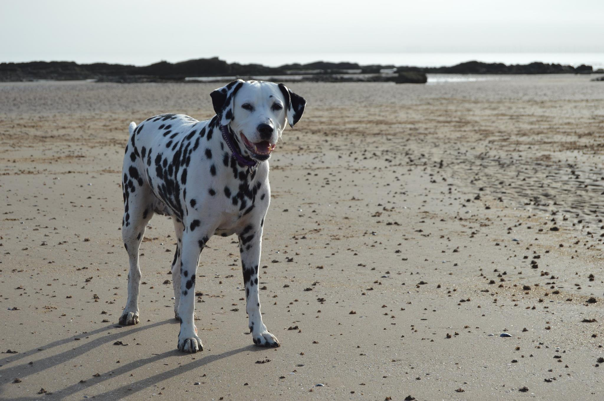 My Dalmatian Molly enjoying one of her many beach walks.