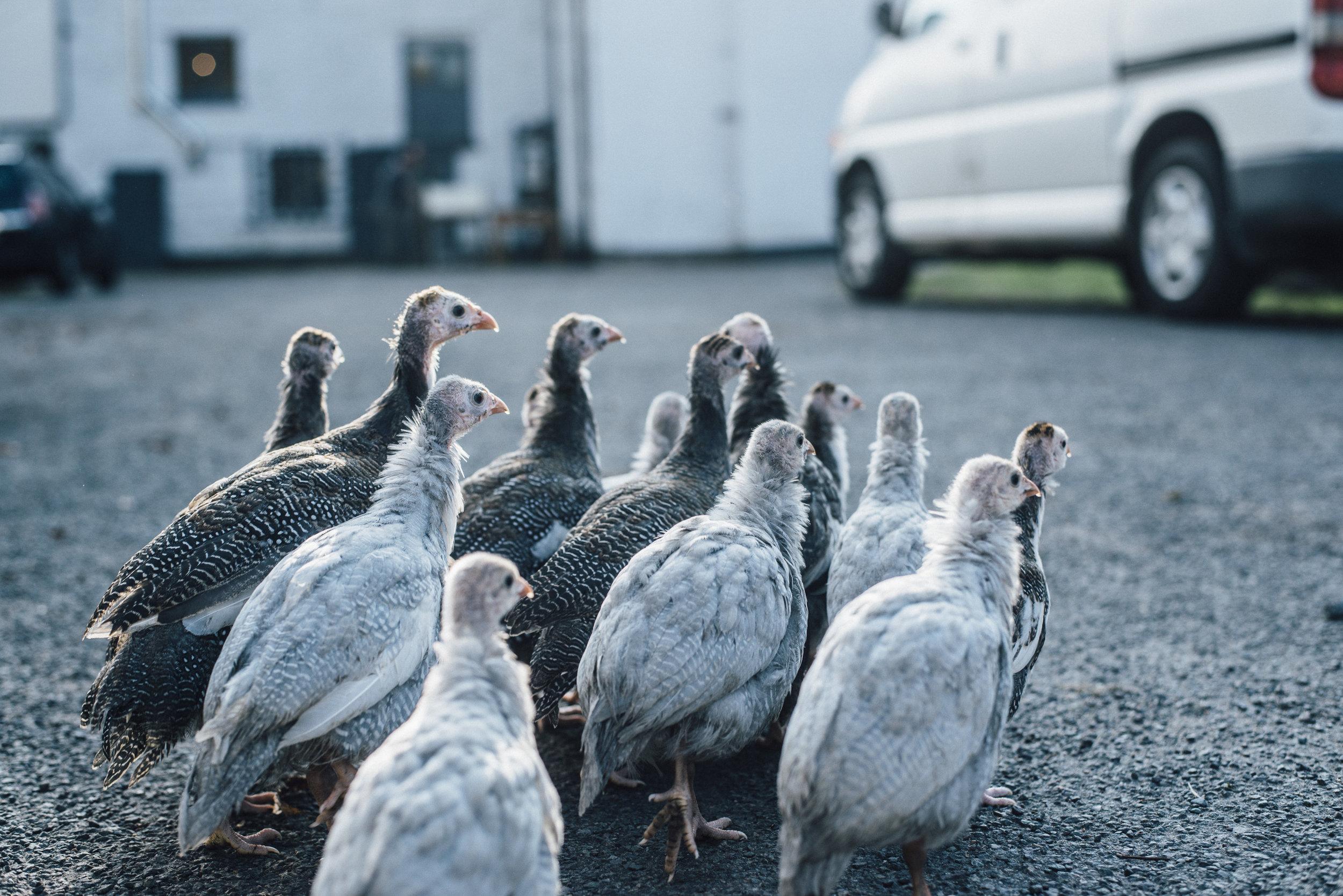 The Cotes Mill Guinea Fowl