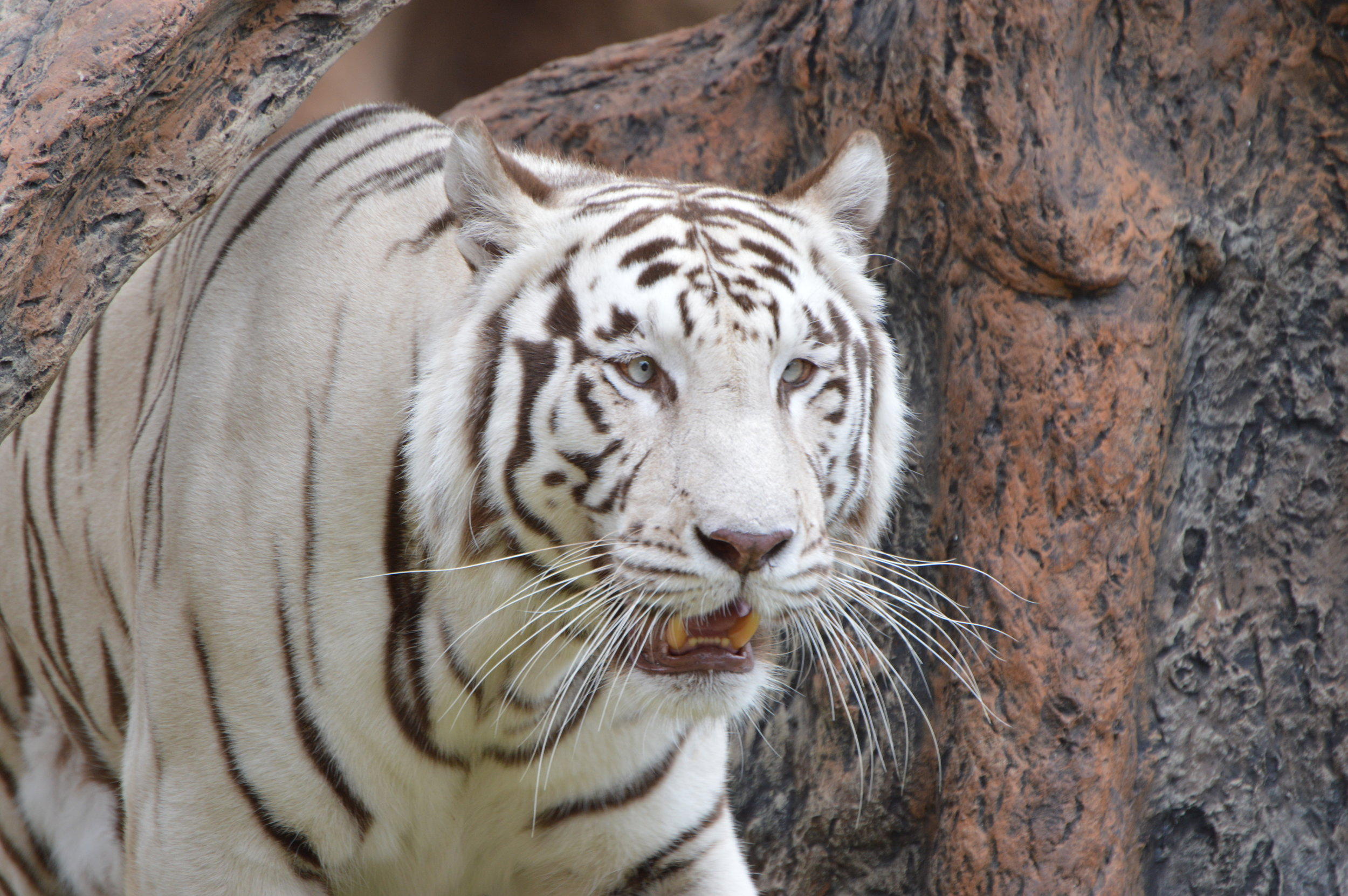 A white Tiger at Loro Parque