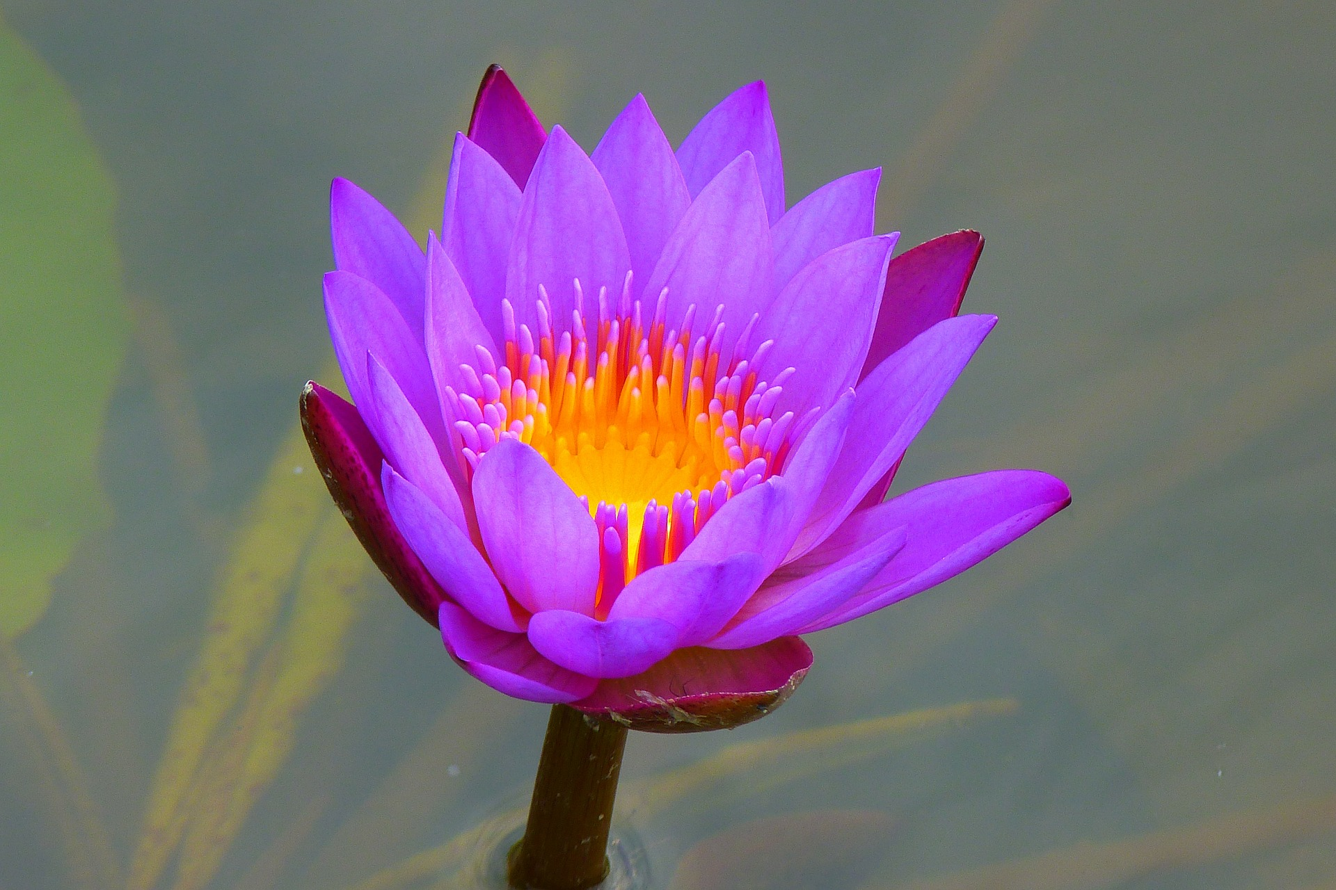 holistic remedies stress relief water lily.jpg
