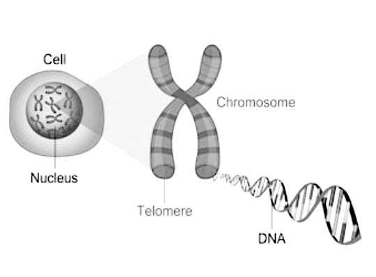 cellular health