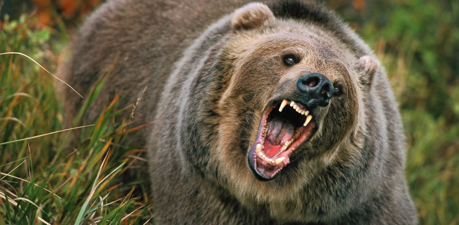GTY_grizzly_bear_jt_130818_33x16_1600.jpg