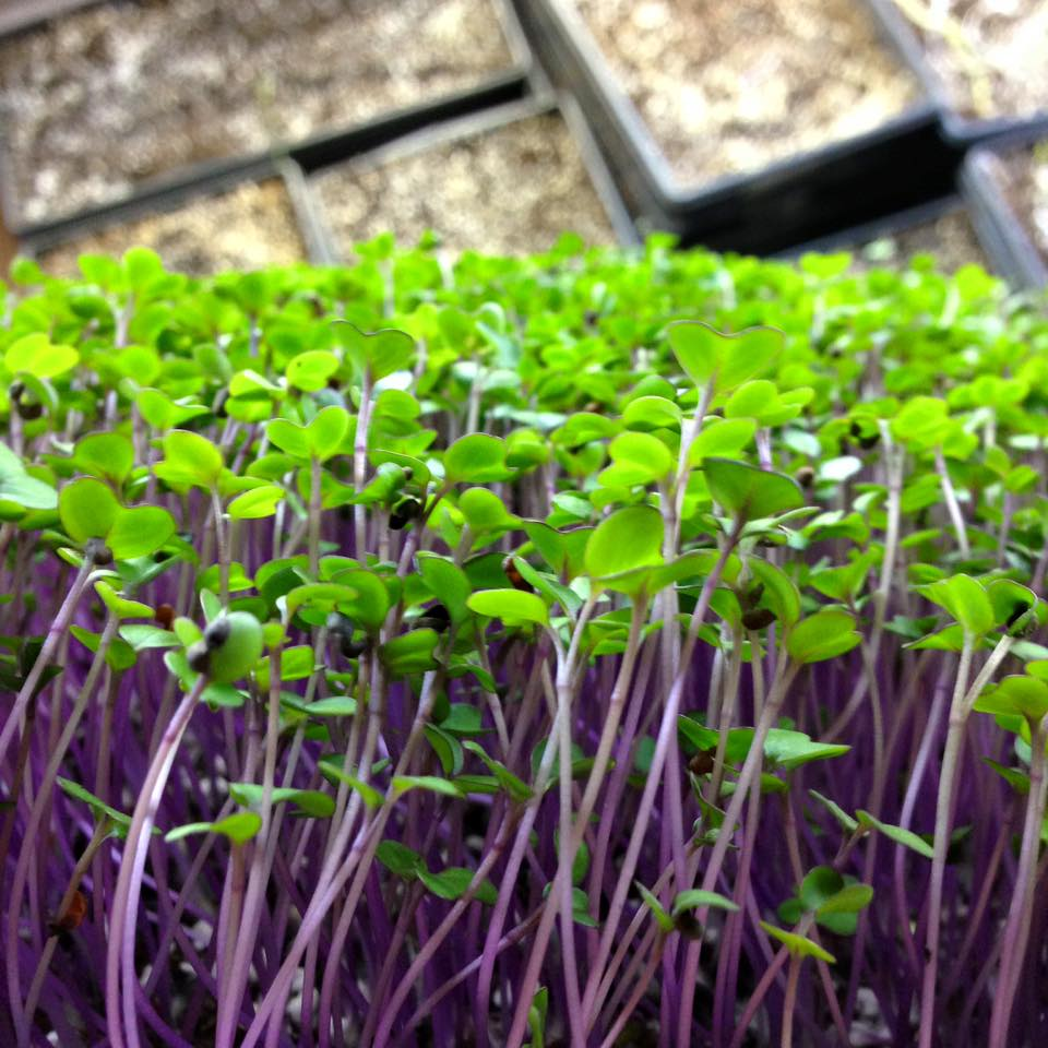 red cabbage microgreen  indoor urban farming