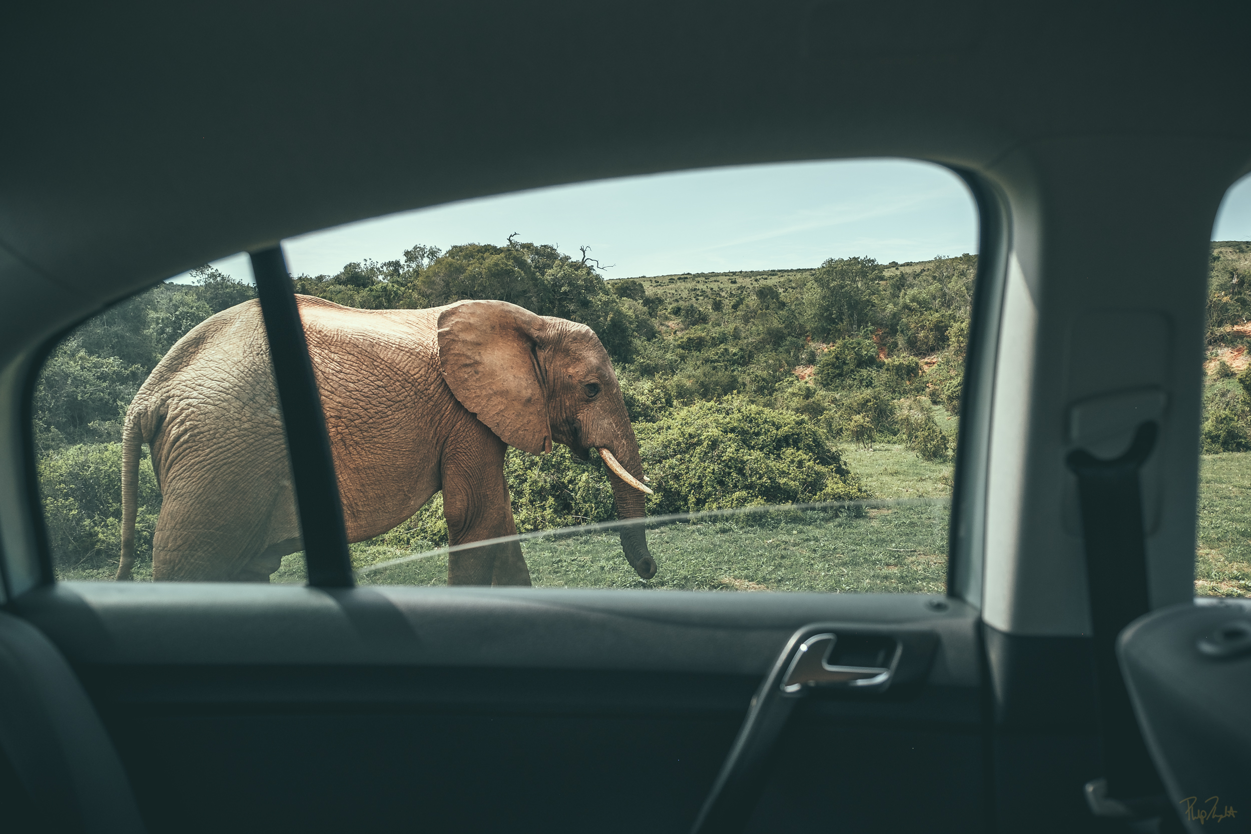 CO-EXISTENCE   This elephant walked along side our car like it had done so to countless other cars. I was in disbelief with the level of comfort it had with people. In South Africa it's possible for wildlife and humans to live together in peace.    BUY NOW