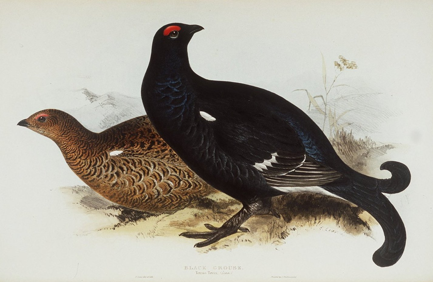 Black Grouse  by Edward Lear