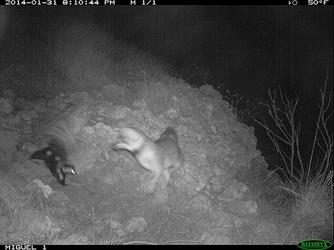 fox and skunk.jpg