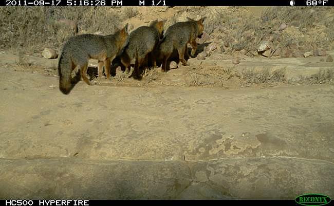 Three foxes.jpg