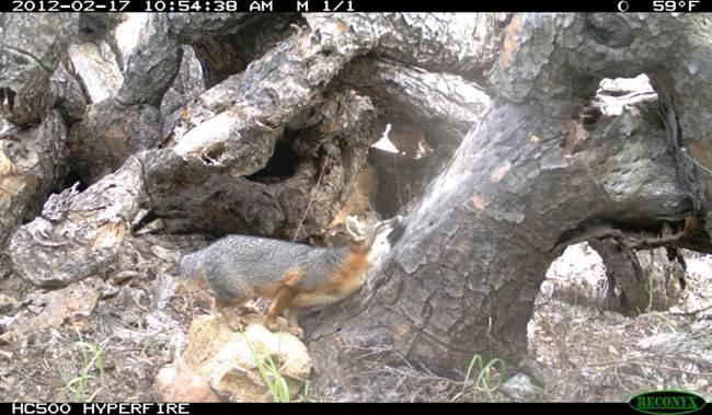 fox rubbing.jpg