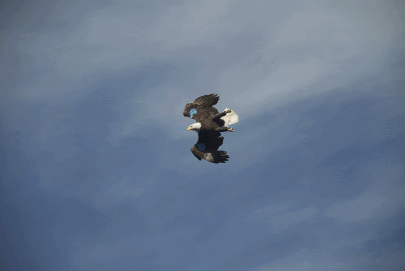 A--in-flight-eagle.jpg