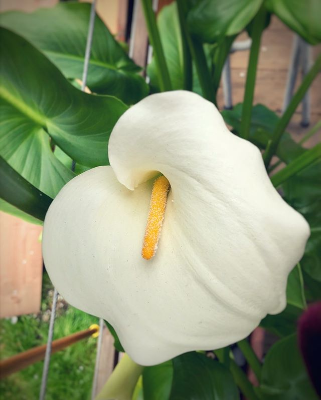 The Language of Flowers 🌸Calla Lily (Zantedeschia aethiopica) 🌸Modesty . . . . #languageofflowers #callalily #modesty #wellness #botanical #naturalbeauty