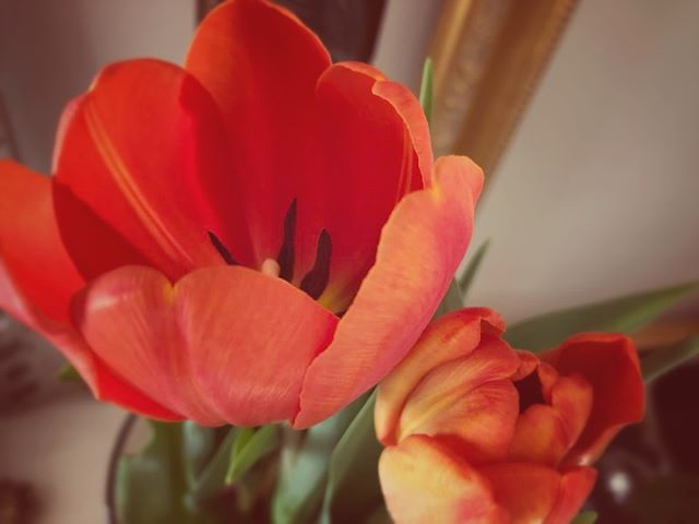 Wisdom Wednesday – The Language of Flowers 🌷 Tulip (Tulipa) 🌷 Declaration of Love . . . . #tulip #languageofflowers #love #declarationoflove #wisdomwednesday #wellness #naturalbeauty #esthetician